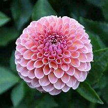 Dahlien Knollen Blumenzwiebelblume Pflanzen