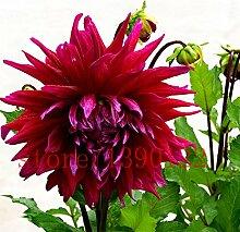 Dahlien Samen Originalverpackung Original-Packung 30 Stück / Beutel Blumen Balkon Topf Bonsai Pflanze Blumensamen für Hausgarten