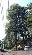 Dalbergia latifolia, Schwarzes Rosenholz, Black