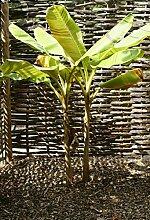 Darjeeling Banane - 10 Samen