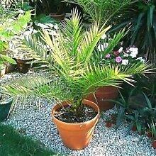 Dattelpalme kanarischer Seeds (Phoenix
