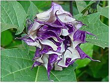 Datura metel purple - Engelstrompete - Stechapfel