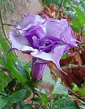 Datura purple queen double - Engelstrompete -