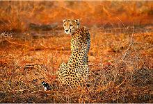 DD118918 Leopard Safari Designwalls fototapete