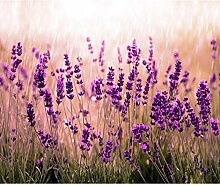 decomonkey Fototapete Blumen Lavendel 196x140 cm