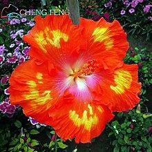 Deep Blue: 100 Teile/beutel Hibiskus Blumensamen