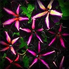 Deep Purple Blumensamen 200pcs / bag selten