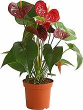 Dehner Große Flamingoblume Otazu, herzförmige rot-braune Blüten, ca. 40-60 cm, Zierpflanze