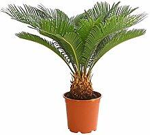 Dehner Palmfarn, farnähnliches Blattwerk, ca.