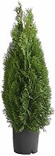 Dehner Thuja Smaragd, immergrün, ca. 100-120 cm,