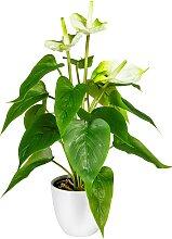 DELAVITA Künstliche Zimmerpflanze Haune B/H: 16