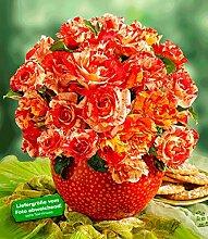 Delbard® Malerrosen® 'Alfred Sisley®', 1 Pflanze Edelrose