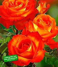 Delbard® Parfum-Rosen 'France Libre®', 1 Pflanze Duftrosen Edelrose