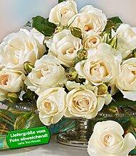 Delbard® Parfum-Rosen 'Grand Nord®', 1 Pflanze Duftrosen Edelrose