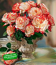 Delbard® Parfum-Rosen 'Impératrice Farah®', 1 Pflanze Duftrosen Edelrose