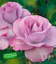 Delbard® Parfum-Rosen 'Mamy Blue®', 1 Pflanze Duftrose Edelrose