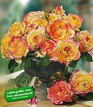 Delbard® Parfum-Rosen 'Mitsouko®', 1 Pflanze Duftrosen Edelrose