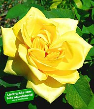 Delbard® Parfum-Rosen 'Président A. Zinsch®', 1 Pflanze Duftrosen Edelrose
