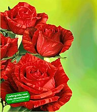 Delbard®-Rosen 'Red Intuition®', 1 Pflanze rote Edelrose