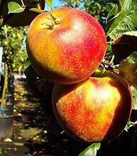 Delgrina Zwergapfel, Apfelbaum für den Balkon,