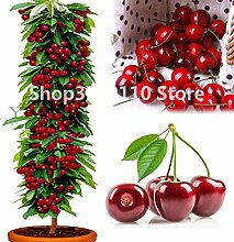 Delighted bonsai tree Cherry Seedsplants Organic