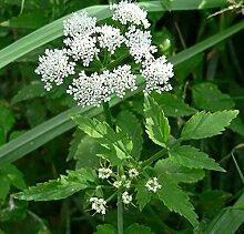 Der schmalblättriger Merk (Berula erecta) Teichpflanze Teichpflanzen Teich