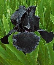 Deutsche Schwertlilie,Iriszwiebeln,Lilien