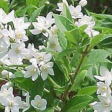 Deutzia Gracilis - Maiblumenstrauch 50-60 cm