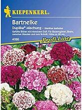 Dianthus barbatus Bartnelke Duplika gefüllt