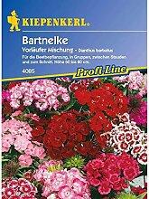 Dianthus barbatus Bartnelke Vorläufer Mischung