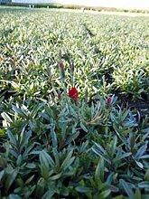 Dianthus Deltoides 12 Stück Flashing Light