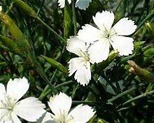 Dianthus Deltoides 12 Stück White Bodendecker