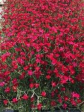 Dianthus Deltoides 25Stück Flashing Light