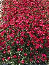 Dianthus Deltoides 50 Stück Flashing Light