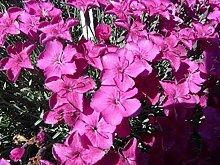 Dianthus gratianop. 25 Stück Pfingstnelke Baby