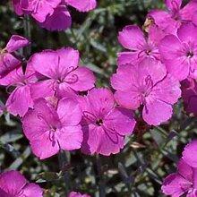 Dianthus gratianop. 6 Stück Pfingstnelke Baby Lom