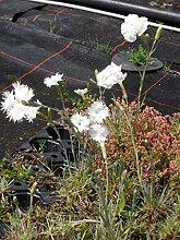 Dianthus plumarius flora plena Albus - Gefüllt