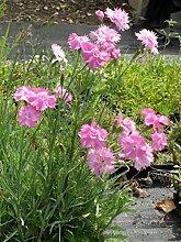 Dianthus plumarius flora plena Roseus - Gefüllt