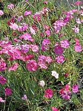 Dianthus plumarius Mix - Federnelke, 24 Pflanzen