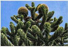 Die Andentanne/Chilenische Schmucktanne (Araucaria