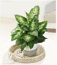 Dieffenbachie Compacta,1 Pflanze