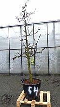 dieser Obstbaum Nr. 54: Birnenbaum Pyrus