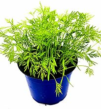 Dill Pflanze Anethum graveolens Kräuter Pflanzen