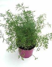 Dill Pflanze, Marktfrische Kräuterpflanze aus Nachhaltigem Anbau ! (Anethum graveolens)
