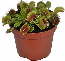 Dionaea muscipula | Droseraceae |