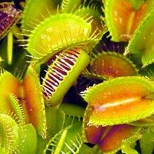Dionaea muscipula (Venusfliegenfalle) - Fleischfressende Pflanze - 20 samen