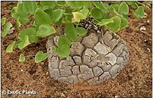 Dioscorea elephantipes - Schildkrötenpflanze –