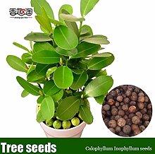 DIY Hausgarten Zierpflanze Calophyllum Inophyllum