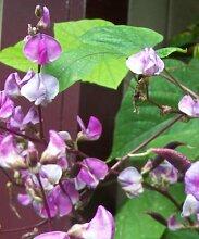 Dolichos biflorus Erbse Rebe 25 Samen