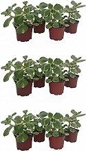 Dominik Blumen und Pflanzen, 802711 Verpiss Dich Pflanze, 12 Pflanzen